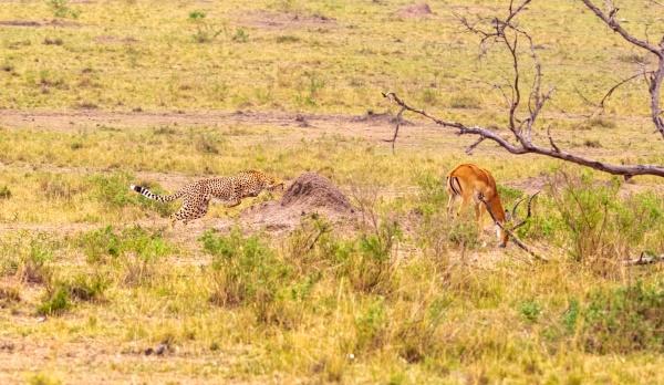 fotoserie gepardenjagd fuer den grossen impala