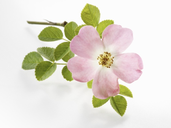 dogrose, with, leaves - 29889544