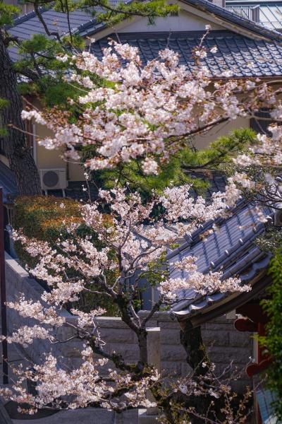 kirschbaum in voller bluete von ikegami