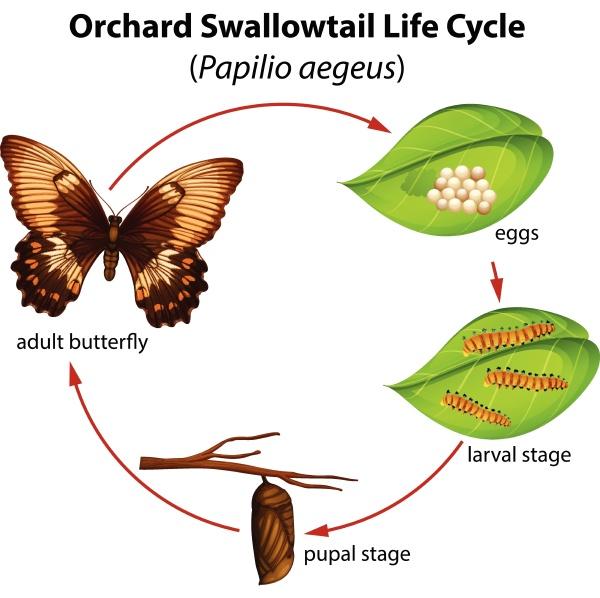 lebenszyklus des schwalbenschwanzes im obstgarten