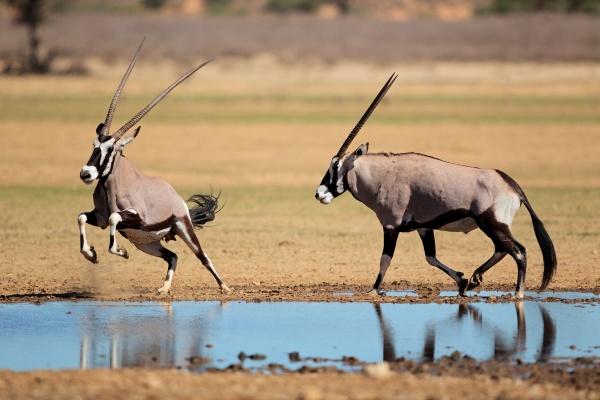 gemsbok antilopen an einem wasserloch
