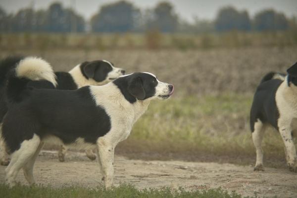 schwarz weisse hunde auf dem land