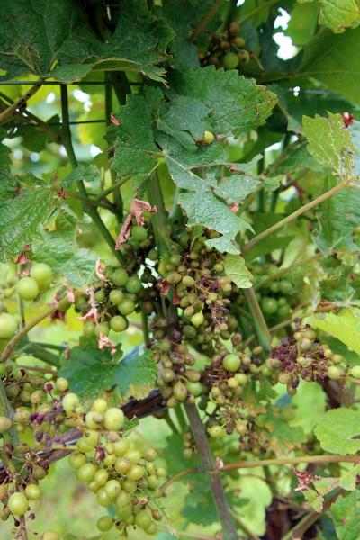 grapevine downy mildew