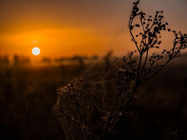 wiesenpflanze mit spinnweben in den strahlen