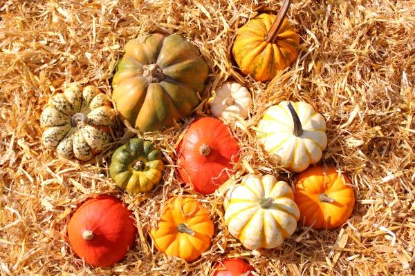 herbst cucurbita bauernhof halloween halloween dekoration