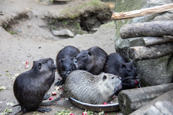 nutria, clean, themselves - 30701580