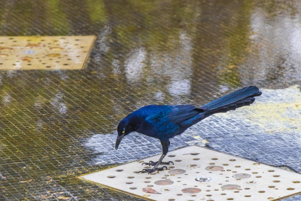great-tailed, grackle, male, bird, drinking, water - 30725688