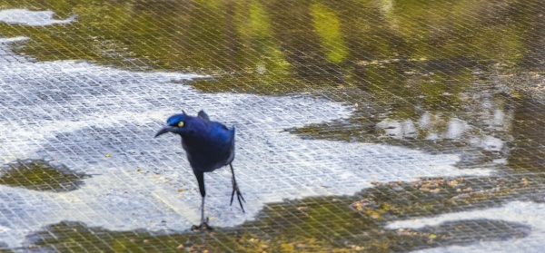 great-tailed, grackle, male, bird, drinking, water - 30729256