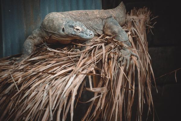 ein fantastisches portraet eines komodowarans