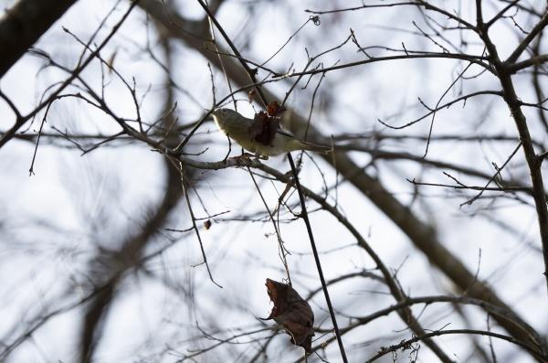 orangenkronen waldsaenger an einem wintertag