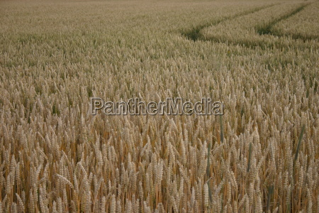 track in wheat