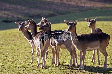 animals zoo roedeer alertness group