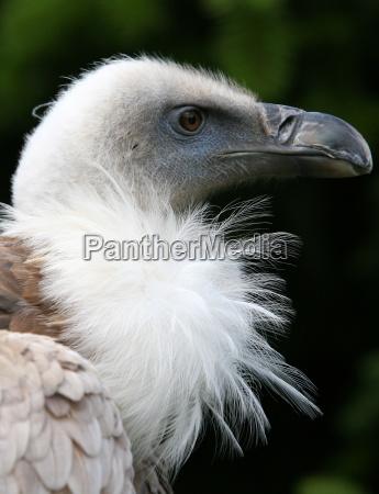 hondo the griffon vulture