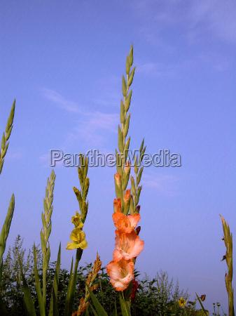 gladiolus lat gladiolus sword flower