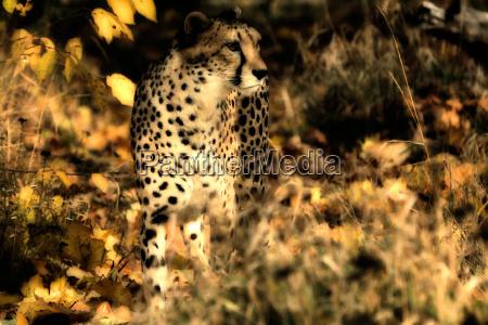 gepard im herbst 3