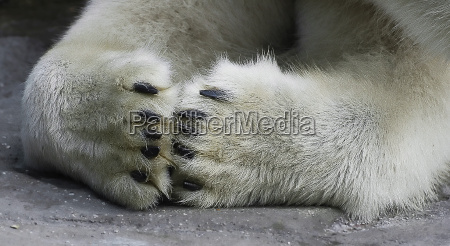 eisbärenpfoten - 161263