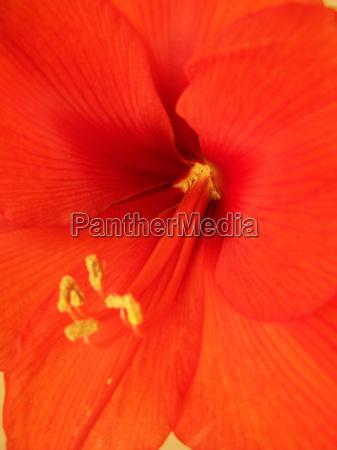 amaryllis hippeastrum ritterstern