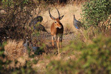 antelope i