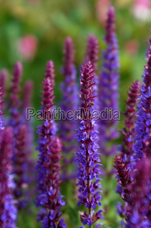 violetter rittersporn