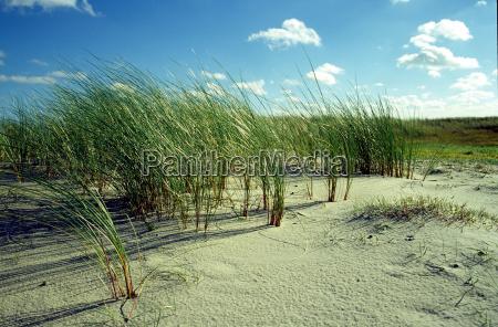 beach oats