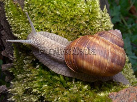 vineyard snail 3