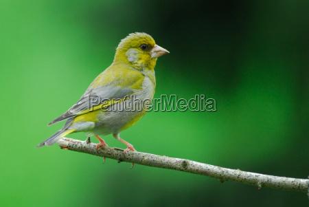 gruenfink carduelis chloris