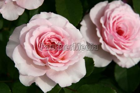 rosen sorten