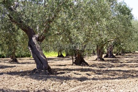 olivenbaum plantage
