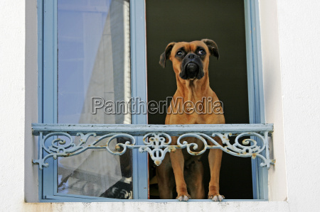 belle ile sauzon hund am fenster