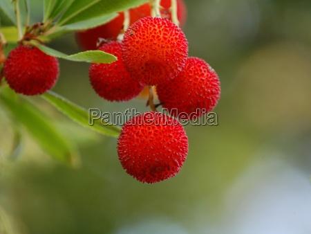 erdbeerbaum ohne blatt