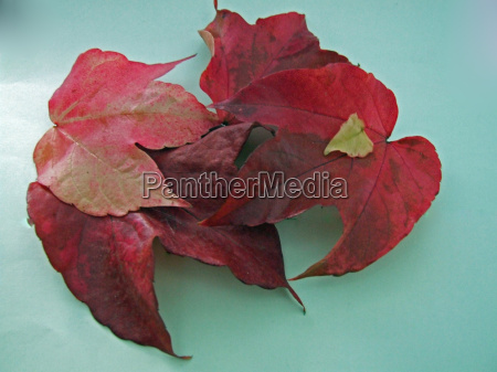 the red grape leaves 2