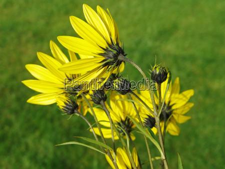 rueckansicht staudensonnenblume