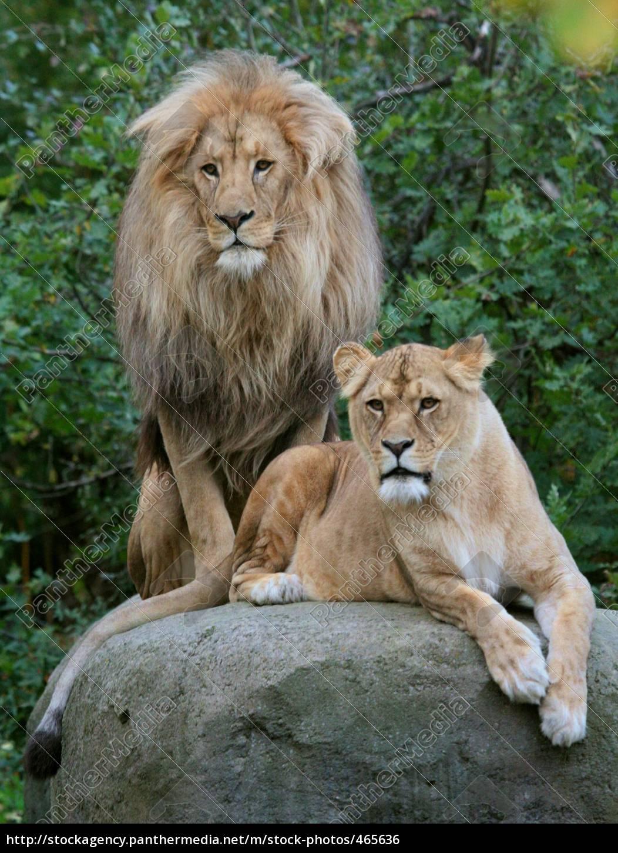 Lizenzfreies Foto 465636 Löwenpaar