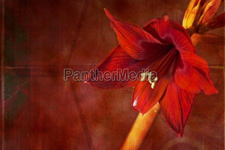 kreative amaryllis