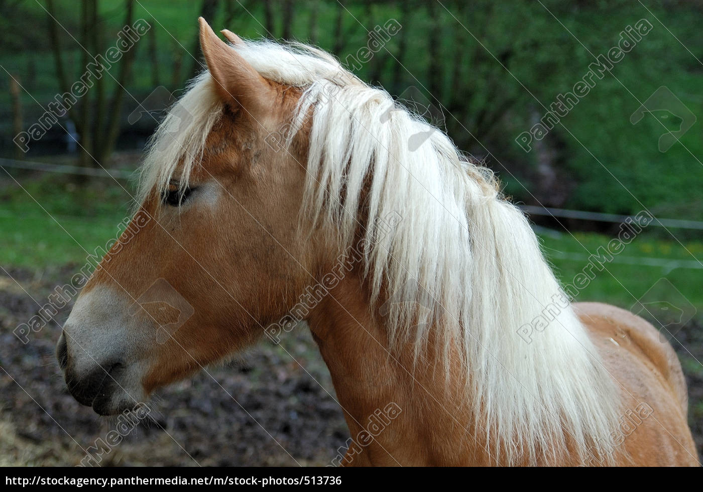 pferd - 513736
