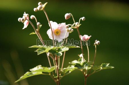 herbstanemone