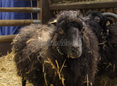 wool or straw sheep