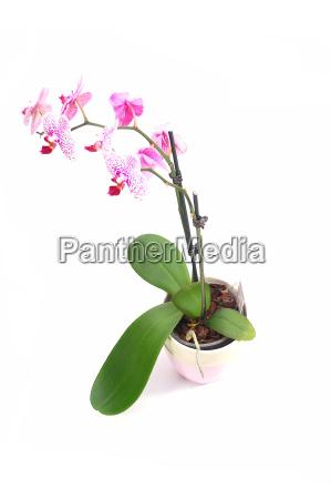 orchideetopf