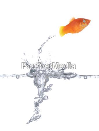 gluecklicher goldfisch
