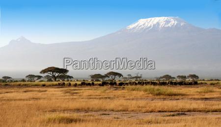 bueffel vorm kilimanjaro