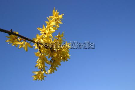 blue blossoms spring shrub bleed comeback