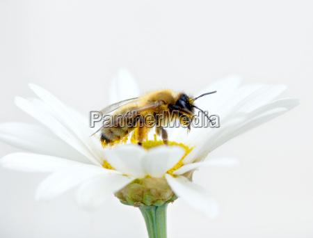 biene voller pollen