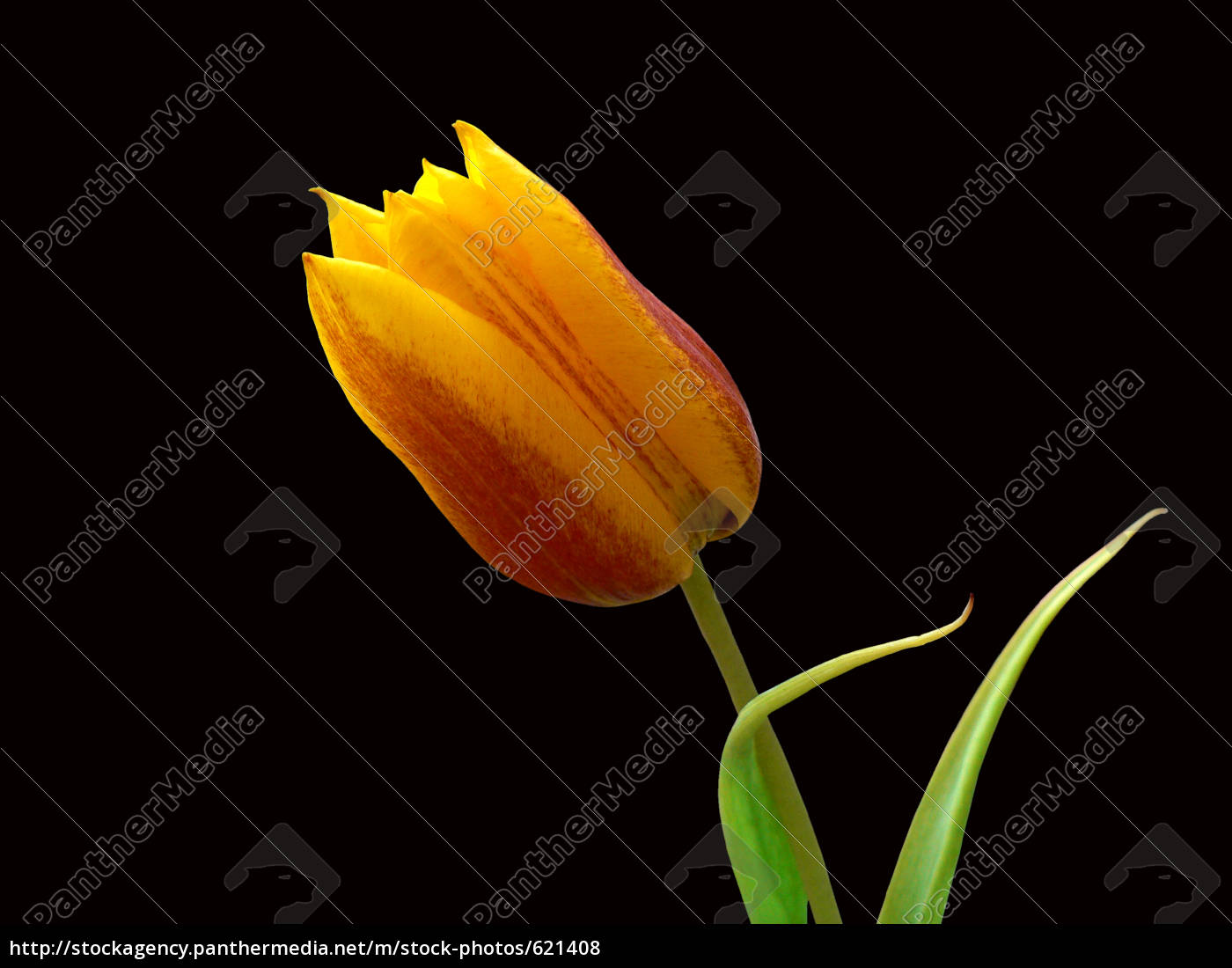 tulpe, freigestellt - 621408