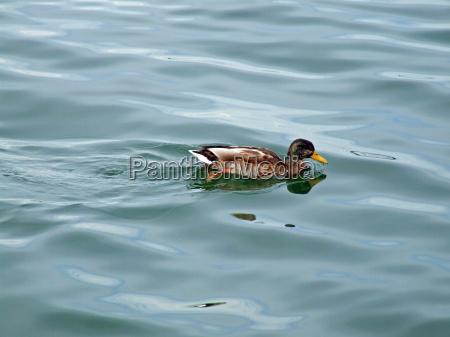schwimm, entlein, schwimm - 648307