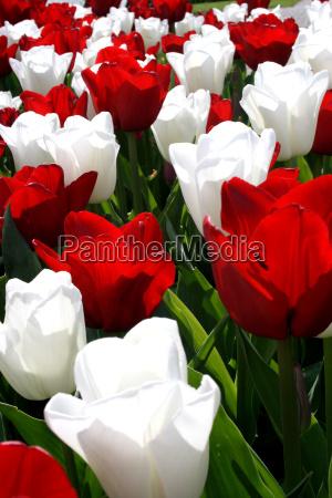 tulpenwiese rot weiss