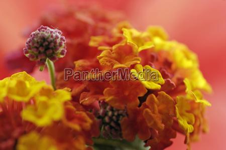 a flower fire lantana