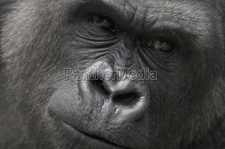 gorillas face