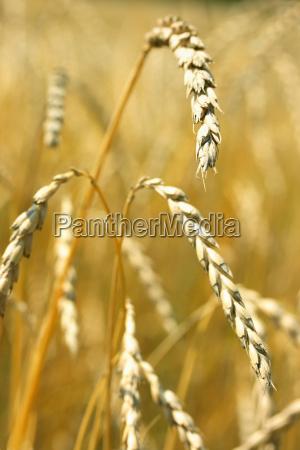 brot brotlaib gesundheit landwirtschaft feld korn