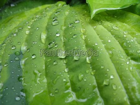 hosta im regen