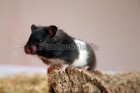 pandahamster 3